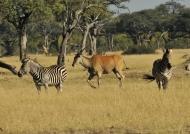 Zebras & Eland