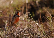 Rosy-throated Longclaw
