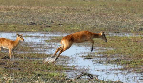 Female Puku jumping