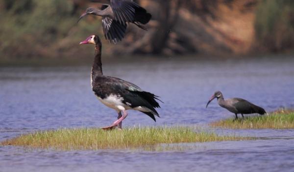 Spur-winged Goose & Ibis