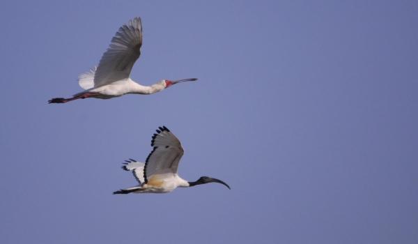 Yellow-billed Stork & Ibis