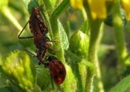 Assassin Bug killing a Ladybug