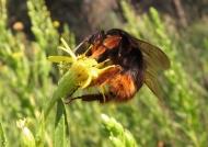 Bumblebee on Aromatic Inula