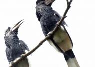 B & W Casqued Hornbills