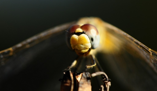 Corsica – Dragonflies