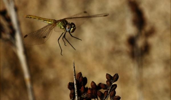 Common Darter landing