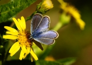 Corsican Silver-studded Blue