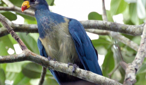 Great Blue Turaco