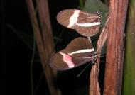 Postman Longwing Butterflies