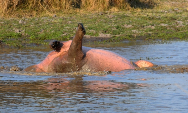 Zambia – Strange Hippo in Kafue NP.