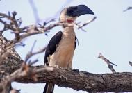 Von der Decken's Hornbill – f.