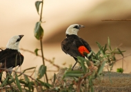 White-headed Buffalo Weavers