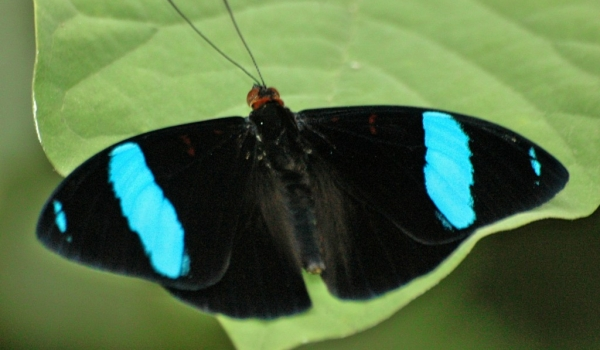 Common Olivewing Butterfly