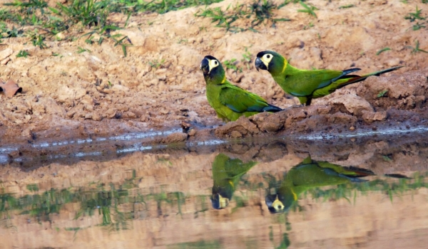 Golden-collared Macaws