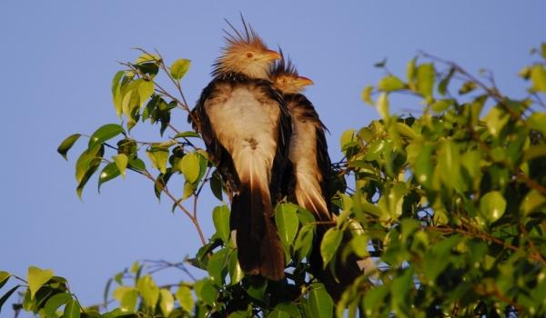 Guira Cuckoos