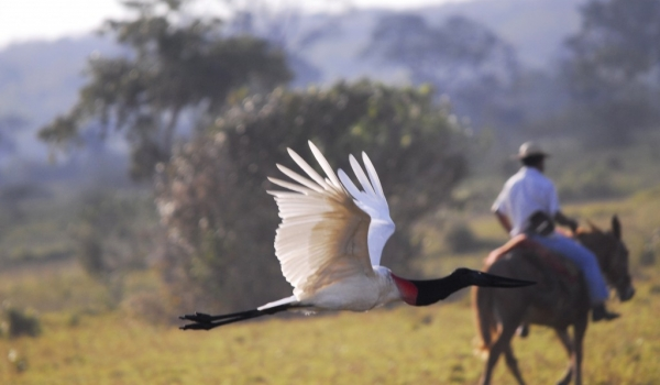 Jabiru Stork in hurry