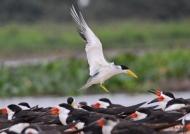 Large-billed Tern (sunset)