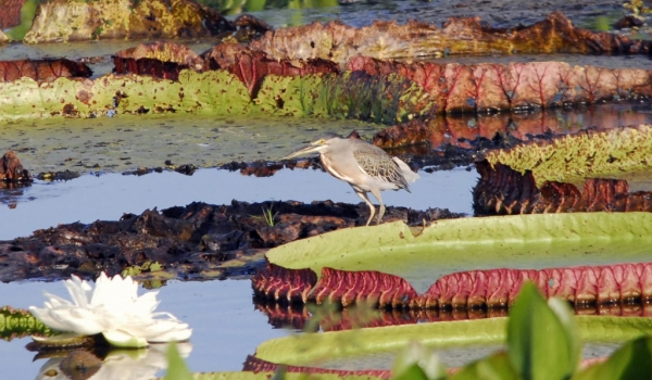 Striated Heron on Water Lilies