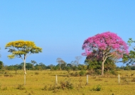 Cambará & Pink Trumpet Tree