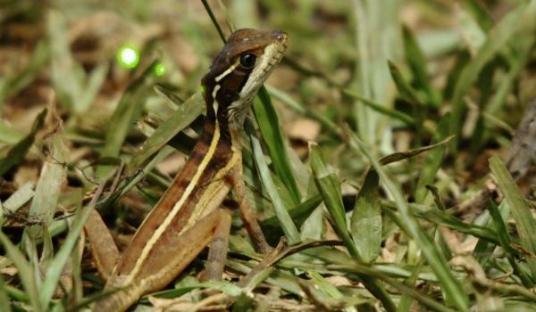 Striped Basilisk