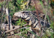 Black-and-white Tegu Lizard