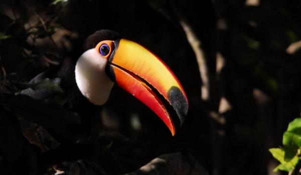 Pantanal – Toco Toucan