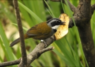 Colombian Brush Finch