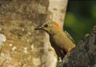 F. Red-crowned Woodpecker