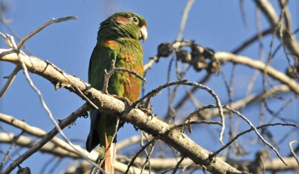 Santa Marta Parakeet