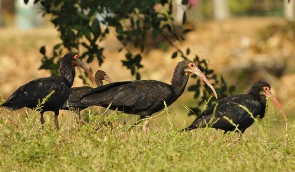Sharp-tailed Ibises
