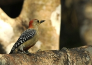 m. Red-crowned Woodpecker