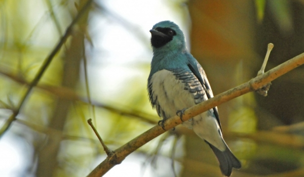 Male Swallow Tanager