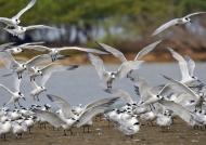 Cabot's Terns landing