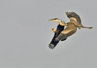 Heron attacked by Caracara