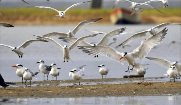 Royal & Cabot's Terns Landing