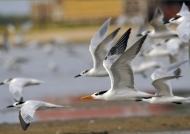 Terns & Gulls