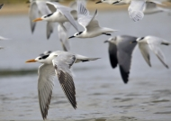 Royal & Cabot's Terns