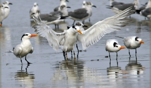 Royal Terns & Laughing Gulls