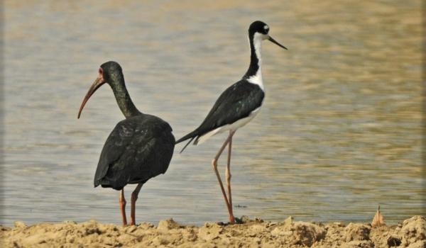 Black-necked Stilt & Iibis