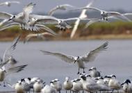 Cabot's Terns