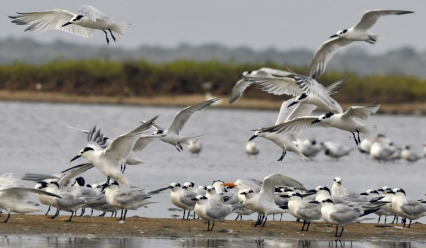 Cabot's Terns