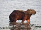 Los Llanos – Capybaras