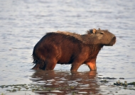 Capybara at sunset