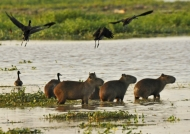 Capybaras at sunset