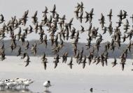 Flock of Sanderlings