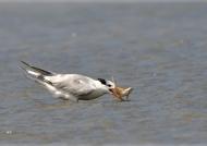 Royal Tern fishing