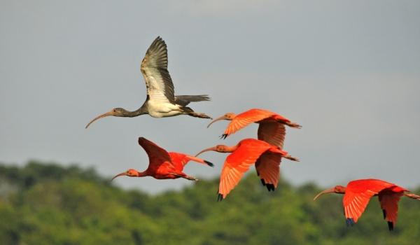 Scarlet Ibis with a Juvenile