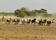 Horses returning from fields
