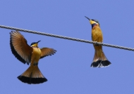Cinnamon-chested Bee-eaters