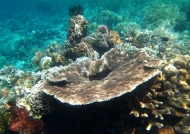 Hard Coral Plate